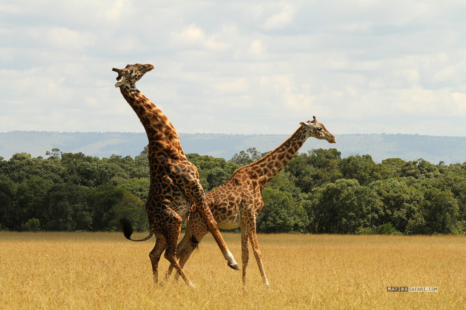 a study on the giraffes The giraffe samples from west of the nile river, which were assumed to be nubian giraffe based on geography and morphology, turned out to share haplotypes with the kordofan giraffe, whereas samples from east of the nile river were genetically similar to rothschild's giraffe.
